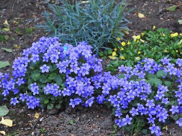 この青い花の名前はなんていうんですか??