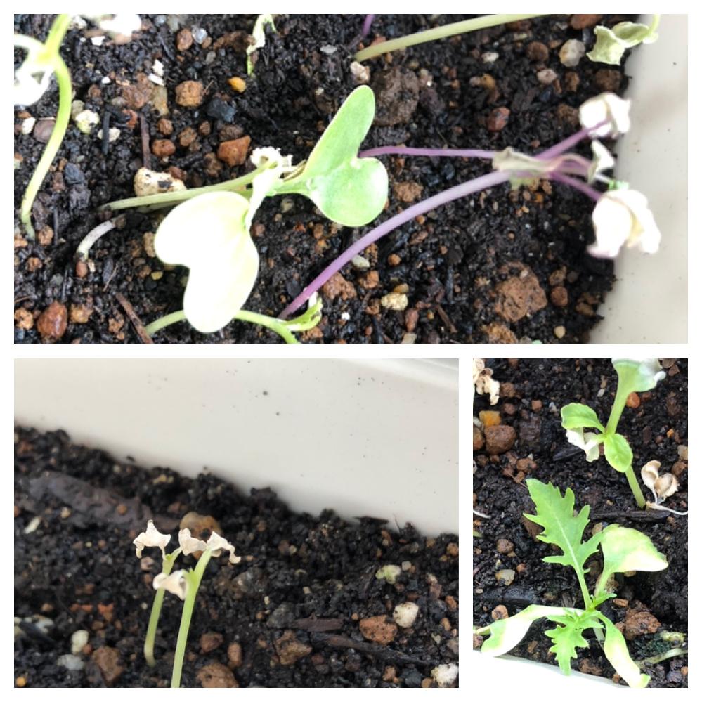 ベビーリーフの種を蒔いて、リビングの窓辺で育てています。窓は南向きです。 双葉まではきれいに出揃ったのですが、その後は葉っぱが枯れてしまっています。中には本葉が出ているものもありますが、10%も満たしてきません。 水は、だいたい1日2回あげています。 土は、有機栽培用の土で、新しいものです。以前は、野菜栽培用(たぶん、化学肥料入り)の土を使っていて、問題なく育っていました。 枯れないようにするには、どうしたらよいでしょうか?有機栽培用に土では無理なのでしょうか?