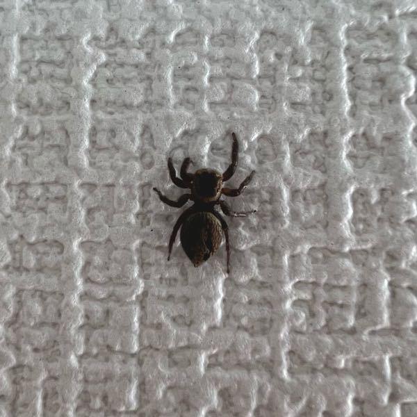 蜘蛛についての質問です。 最近この写真の子と同居しているのですが、このまま一緒に暮らしていても大丈夫な蜘蛛でしょうか? 素人が調べた限り大丈夫だとは思ったのですが、毒の有無や人間に与える害などがあれば詳しい方教えてください。