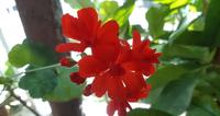 いつもお世話になっております。 こちらの花の名前を教えてください。 宜しくお願いします。