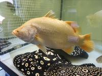 上のオレンジ色の魚の名前を教えてください。 よろしくお願いします。