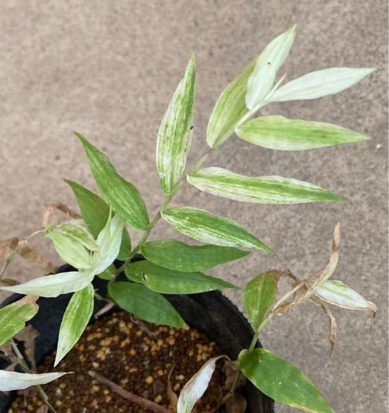 この笹に似た植物、何かわかる方いらっしゃいますか? 山で見つけた斑入りです。