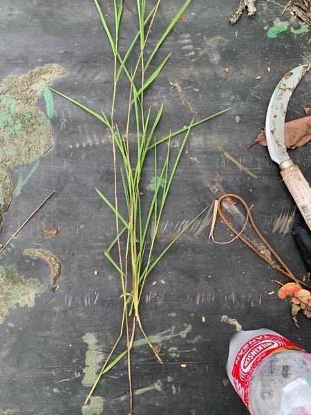 この雑草はなんですか? 田んぼにたくさん出てきて、今後悪さをしそうです、 効く除草剤などもしってらしたら教えてほしいです。