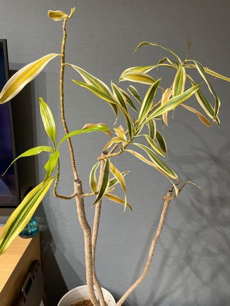 観葉植物の葉が黄色くなり、落ちるようになりました。 友人から頂いてもう2年経つのですが、今まで一度もこのような状態になった事はありません。 頂き物で名前もわからない観葉植物で、どう対処したらいいのか分かりません。 どなたか原因と対処法が分かる方がいれば教えて頂きたいです。