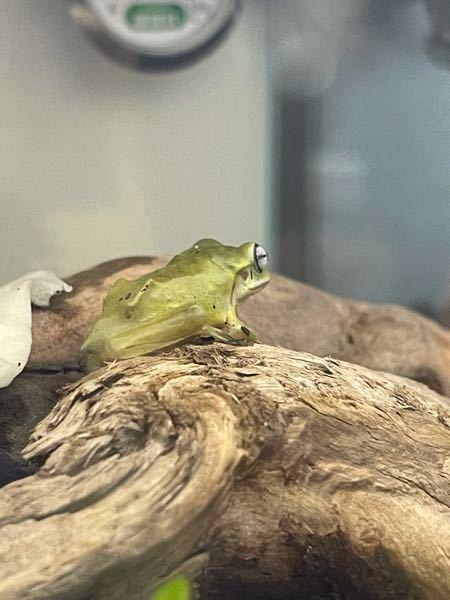 イエアメガエルについて質問です 1週間ほど前にイエアメガエルのベビーサイズを迎えたのですがこの写真の子は痩せすぎですか?餌の頻度はどのくらいがいいいでしょうか?