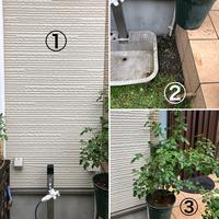 つるバラ(ピエールドゥロンサール)の植え付けについて質問です。 現在鉢管理をしているピエールドゥロンサールの地植えを検討しています。 候補の場所はいくつかあるのですが、ふと①の場所にトレリスを使って壁面に這わせたら素敵だなぁと思いつきました。ただ、植えるスペースが非常に狭いんです② 植えるピエールは③で結構大きいです。 皆さまにお聞きしたいのは 1.②のスペースに植える事は可能か。...