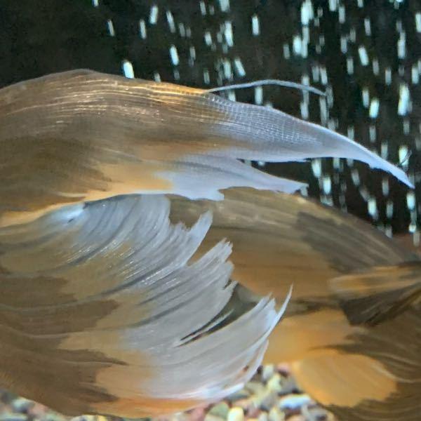 あ〜あぁ…案の定、鰭がボロボロになりました…。 しかも3匹ともボロボロ笑 3ヶ月程前からサイアミーズフライングフォックスを持て余し気味で、混泳相手やレイアウトなど色々と試してみたけどやっぱりダメでした。 金魚もエンゼルもコリもグッピーも鉄魚もダメなやんちゃなサイアミーズさん…単独しかないかなぁ…どうしようかと悩んでます。 大きくなっても上手く混泳出来てる方もいらっしゃるので、やっぱり個体差が大きいのかな? 混泳相手との相性もありますよね。 鉄魚の尾鰭のヒラヒラに執拗に食らいつき離れないのでたった今隔離したとこです。 二度と飼わないと今日しみじみ思いました…。 皆さんの「二度と飼わない魚」は何ですか? (アクアカテ定期)