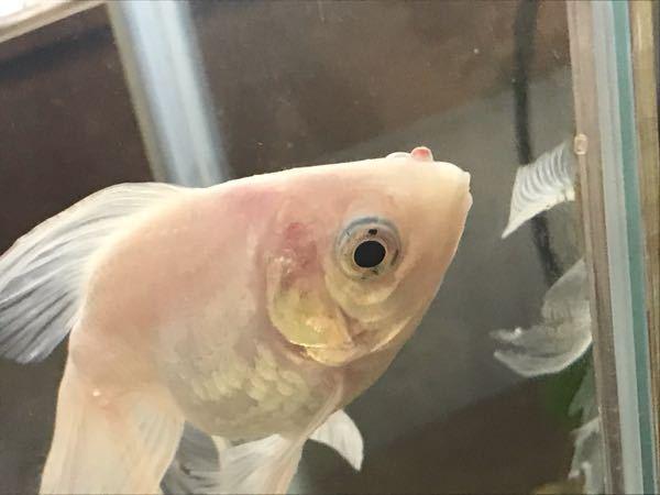 金魚の顔に赤いイボができてました。 病気でしょうか?
