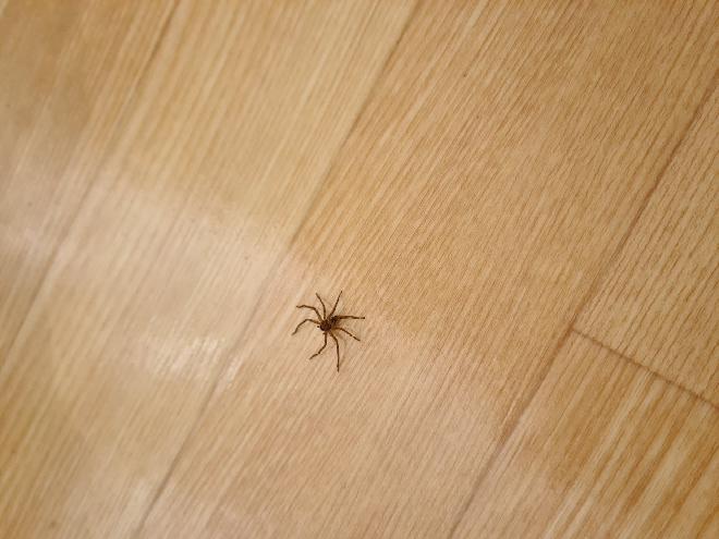 これってアシダカグモですか? 2週間くらい部屋に住みついております(笑)