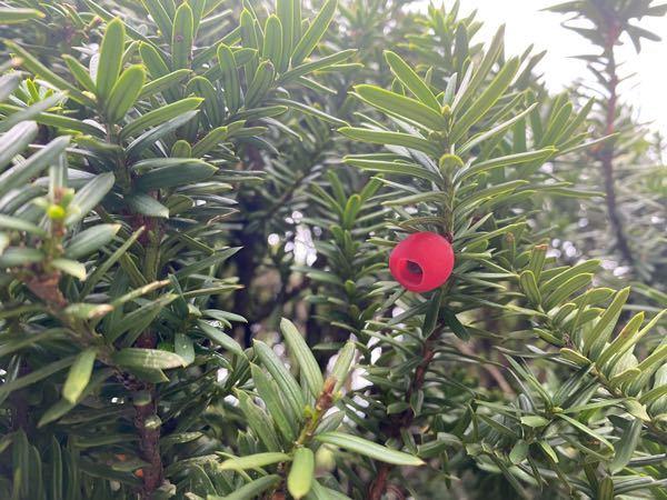 庭に生えてる木に 謎の実が付いてました。 なんの木ですか??そして赤いのは種ですか?