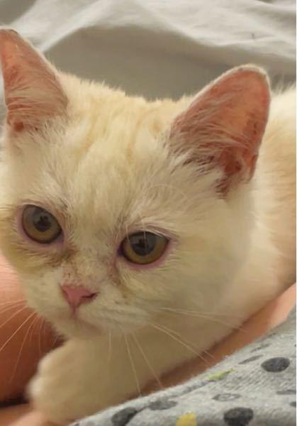 子猫の目の病気についてです。 この子は生まれた時から猫風邪を持っており、1日2回眼軟膏をしています。 うちに来てもう少しで1ヶ月になります。 ここ数日左右どちらかの目を若干閉じるような表情を見せます。 おじいちゃんがエキゾチックだったため、鼻が少しぺたんとしており、元々涙が出やすいようです。 ですが、目の縁がピンク色になっているので猫風邪が悪化していっているのかな、と考えています。 調べると、結膜炎かもしれなと出ており、今週のどこかで病院に連れて行く予定です。 同じような症状を拝見した方はいらっしゃいますでしょうか。