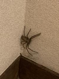 この蜘蛛の種類を教えてください。[画像注意] 昨日、洗面所の壁に、画像の蜘蛛が出てきました。(画質が粗く、すみません。怖くて、近寄れませんでした。) 大きさは大体8〜10cm程度なのですが、 この蜘蛛は、ゴキブリを食べてくれる蜘蛛(アシダカグモ?)なのでしょうか。それとも、駆除した方が良い蜘蛛なのでしょうか。 教えていただきたいです。