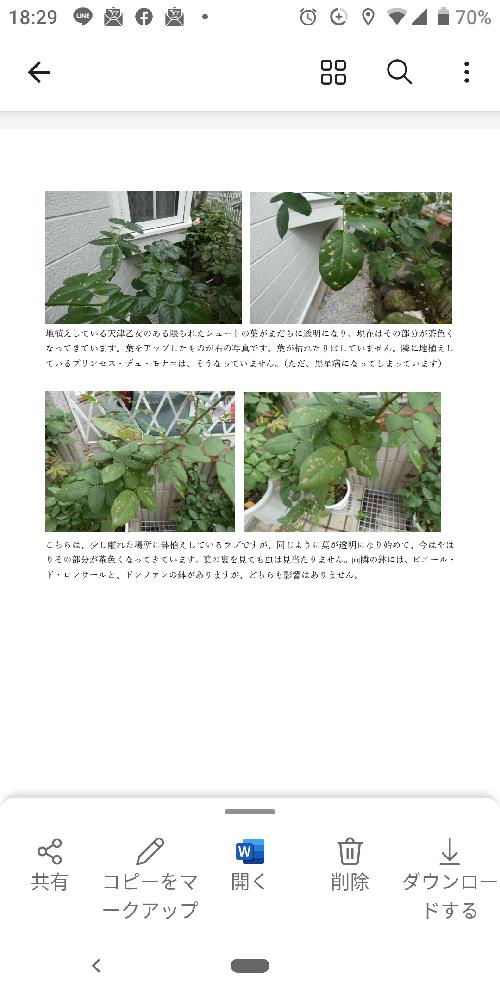 バラの特定の枝の大半の葉が、まだらに透明→茶色になってしまいました。 (写真を参照願います)新苗で購入してすぐ地植えをして2年目を迎えている天津乙女(今、花が5輪咲いています)と、今年購入した鉢植え大苗のラブ(今、花が2輪咲いています)も、同じ症状です。周りの地植えのバラや、鉢植えには影響ありません。葉の裏を見ても、虫は見当たりません。何か病気なのでしょうか?それとも、どこかに虫が存在しているのでしょうか? どちらも健康で、今まで薬を使ったことはありません。まだバラを育てて2年目で、初めての経験ですのでどうしていいかわかりません。どなたかよきアドバイスをお願いします。