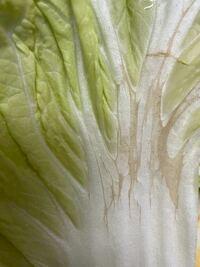 今日買った白菜が剥いても剥いてもなんか茶色い傷みのようなものがあり これは食べれるんでしょうか? ここだけ切り捨てたほうがいいですか?