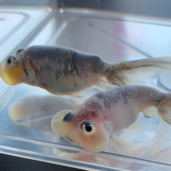 今日から水泡眼を2匹、飼育を始めました 金魚暦2年で、水泡眼は初です 大きさは4-5cmくらい 羽衣水泡眼と書かれてました 水泡眼は冬は何度くらいが適当ですか? 出来れば砂利を敷きたいんですが、丸っこい角のない砂利なら大丈夫でしょうか?