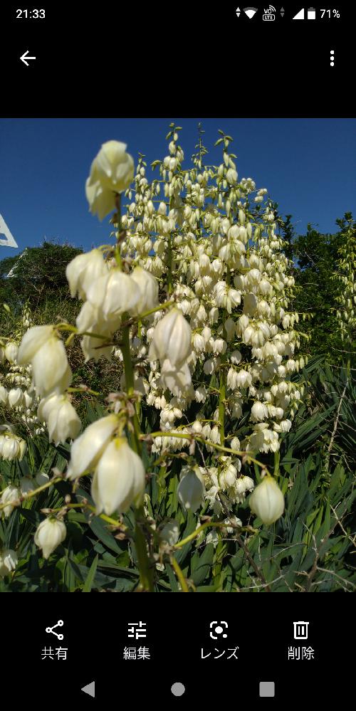 この花の名前を教えて下さい! 海岸線に咲いていました!