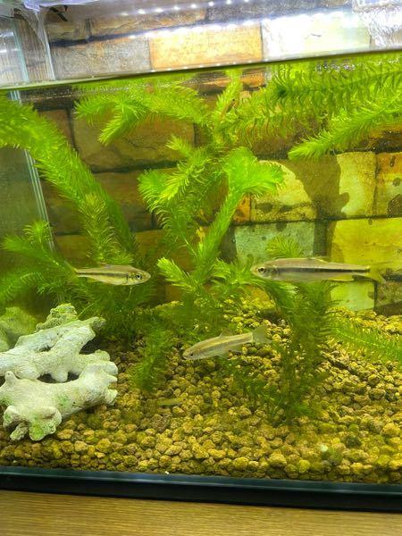 この川魚の名前は何ですか?