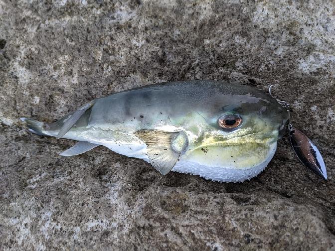 今日静岡県で釣りました。なんて魚でしょうか??