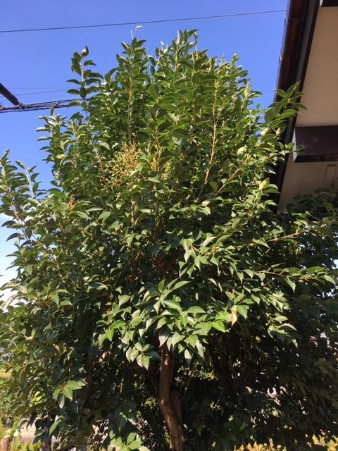 この木の名前教えてください。 かなり刈り込んだのですが1年ちょっとで枝が滅茶苦茶のびてしまいました(๑>◡<๑)