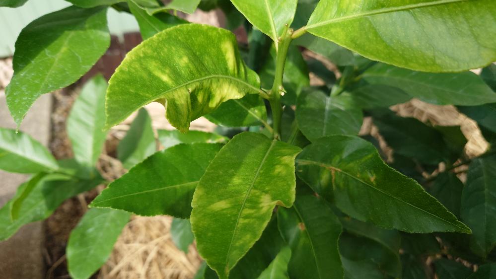 レモンの葉っぱが斑になってるものがいくつかあるのですが、これはサビ病ですか?