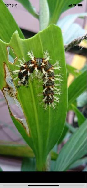 写真の毛虫はどんな蛾なのですか?教えて下さいm(_ _)m