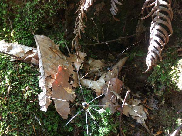 林の中に非常に脚が長いクモが2匹いました。何というクモでしょうか?