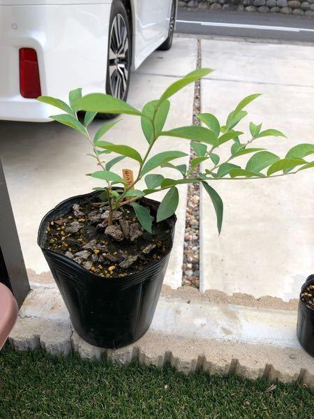 ブルーベリーの挿木で少し成長しましたが横に広がってきています。 剪定とか何か手を入れたほうがいいことありますでしょうか?