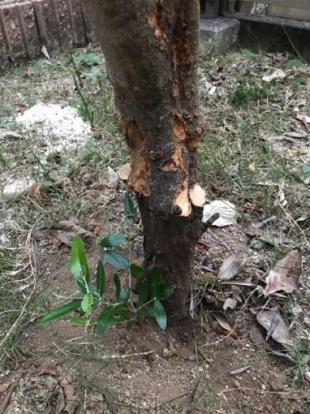新築時に植えたオリーブがアナアキゾウムシにやられて枯れてきました。 約7年目です。 見つけてから、可能な限り虫を駆除しましたがみるみる枯れてショックでしたが根本に新芽のようなものを発見しました。 何としてでも成長させたいのですが、枯れてきている元の幹はこのままにした方が良いのか、切った方がいいのかすらわかりません。 新芽を成長させる為にどうしていったらいいでしょうか?