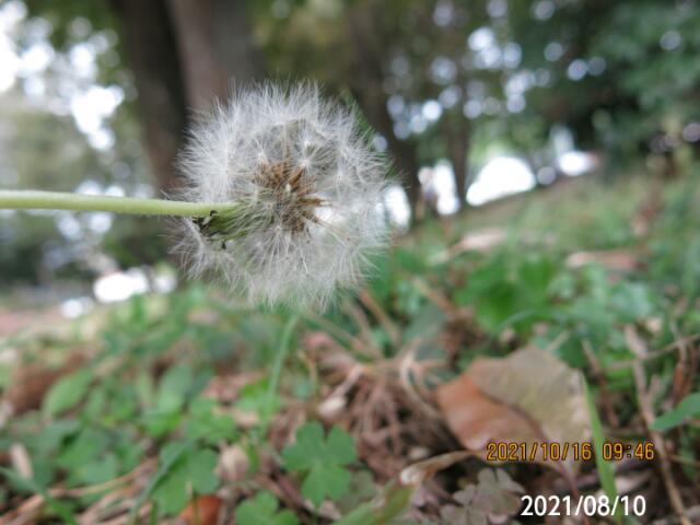 丸い種の植物の名前を教えてください、 岐阜県美濃加茂市で、 撮影20211016