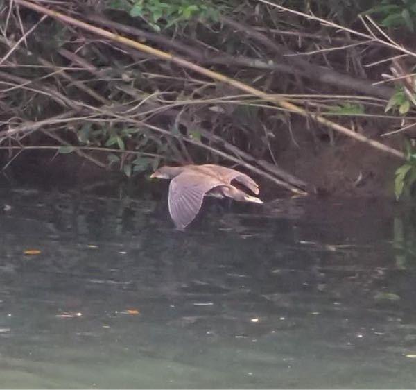 この鳥はなんという種類ですか? バンの幼鳥?