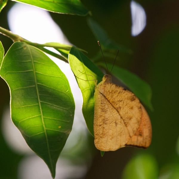 この蝶々の名前を教えてください