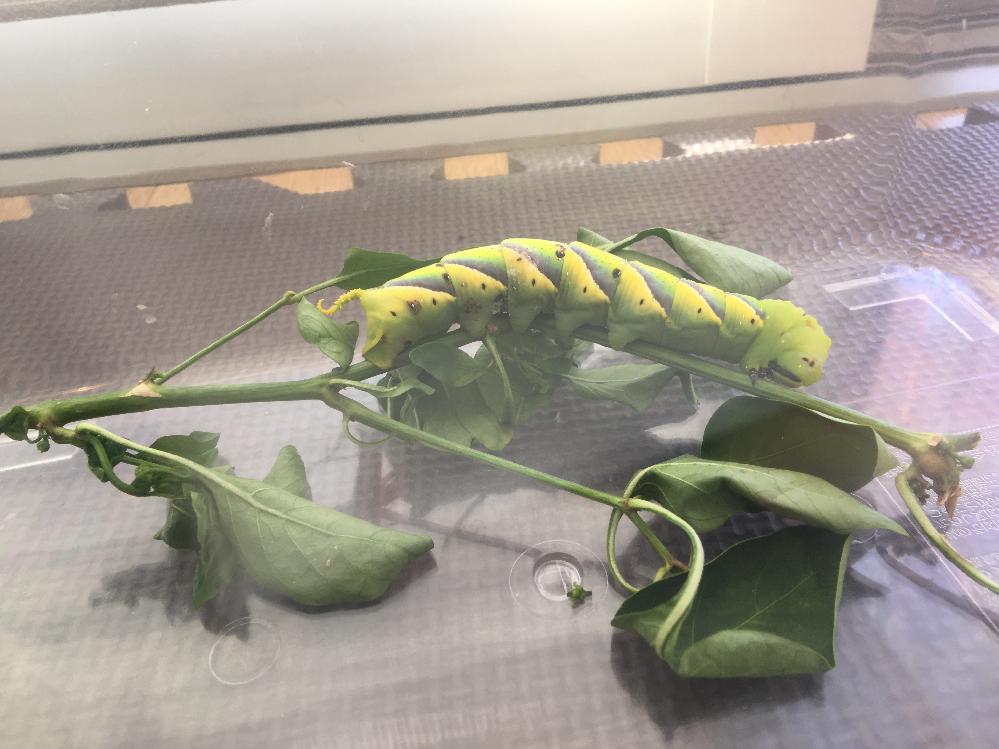 これは何の幼虫でしょうか??