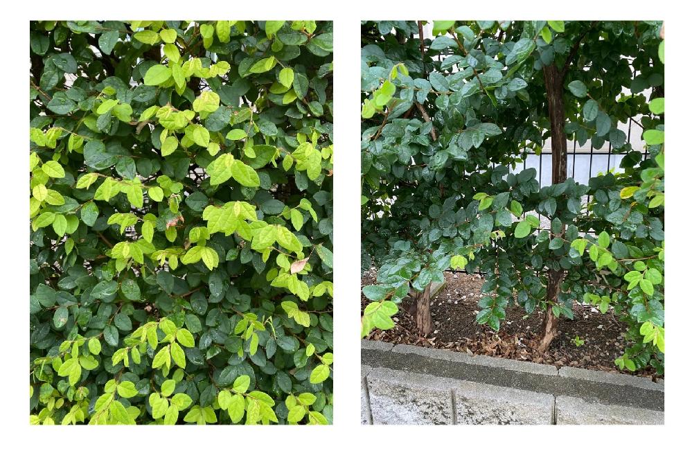 この植物の名前を教えてください。 生垣に使用したいと考えています。 どうぞよろしくお願いいたします。