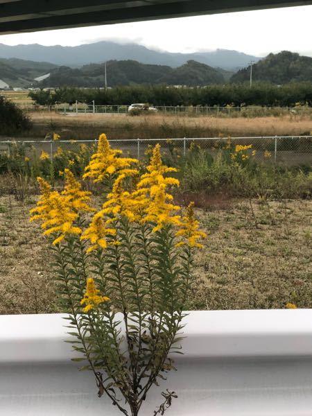この草の名前がわかる人いますか? 気づいたらたくさん生えてるところがあり気になりました