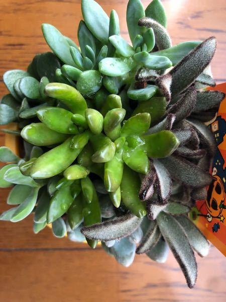 こちらの観葉植物はなんという名前でしょうか。 また、育て方や枯らさないコツなどがありましたら、ご教授して下さい。 観葉植物に詳しい方何卒よろしくお願いします。