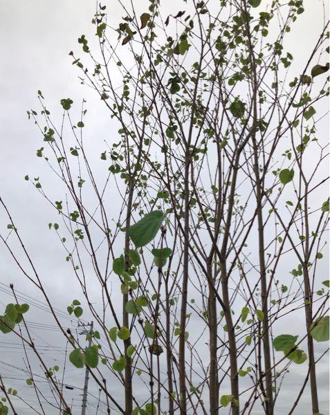 この木の名前を教えて下さい。 画像検索しても断定が出来なかったので、詳しい方、よろしくお願い致します。