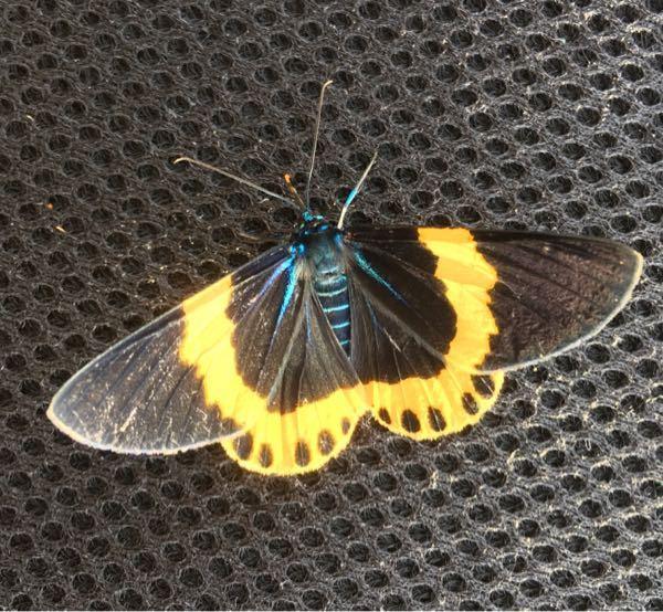 昆虫 蝶 この蝶の名前を教えて下さい。