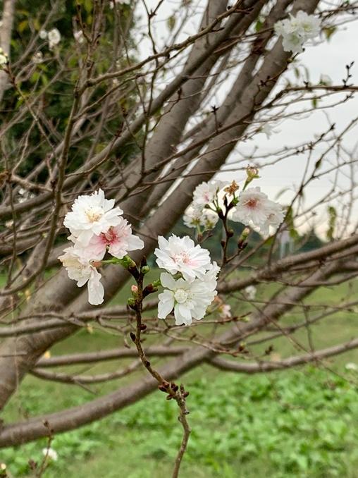 これは何桜でしょうか?