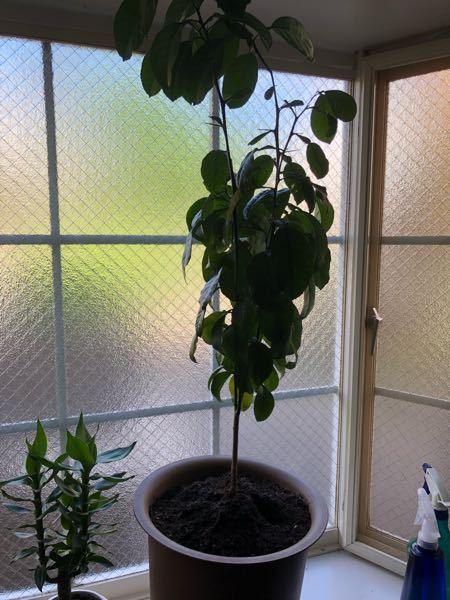 土佐文旦を植木鉢で種から育てているのですが、かなり大きくなってしまいました。 これから冬場に入り寒さで枯れてしまわないか心配です。 これから育てる上で注意することがありましたら教えて下さい! ま...