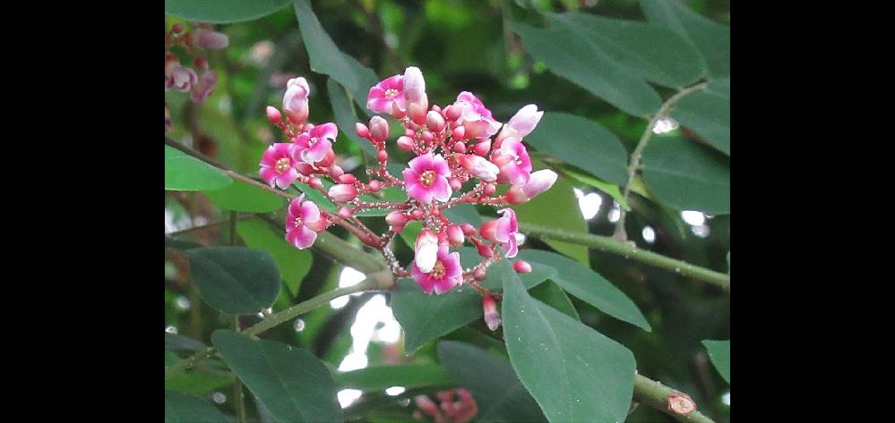 この花の名前を教えてください。 温室で撮影しました。