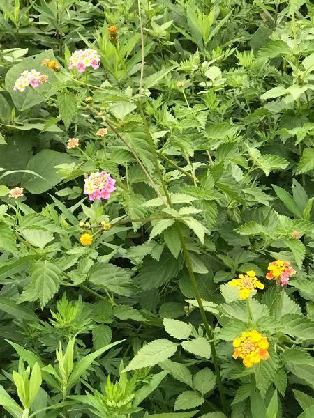 この花の名前を教えて下さい!自然に生える花だと思います?