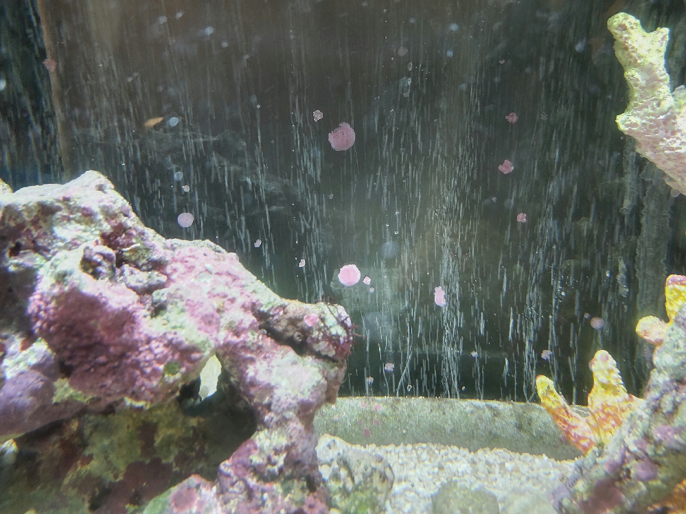 海水魚を飼育している水槽ですが、ガラス面にピンク色の付着物が広がってきました。 激落ちくんで擦ってもピンクの付着物は固く、落とせません。 これ何かわかる方いらっしゃいましたら教えて下さい!