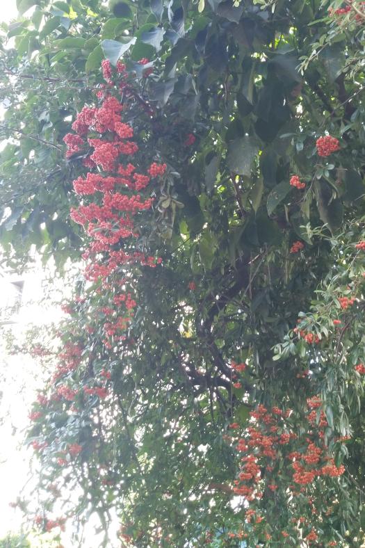 これはなんという名の植物でしょうか? 昨日東京の根津神社の近くで撮りました。 トゲがありました。 地表から立ち上がり、つる状に木にまで巻き付いて育ってました。 よろしくお願いします。