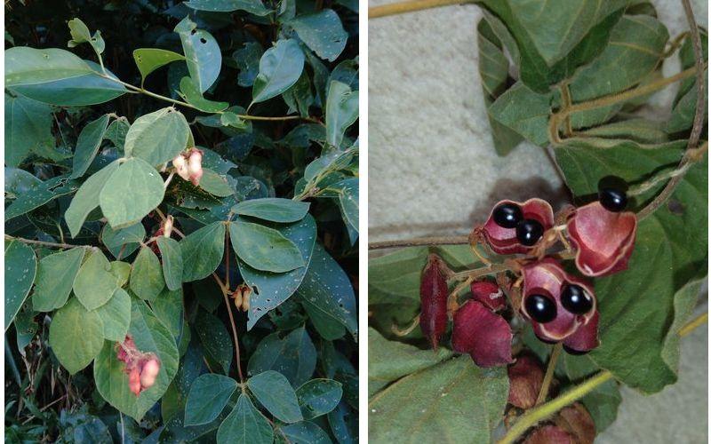 この植物の名前を教えてください。 ノアズキかなと思ったのですが、 ノアズキだと 豆がこんなにツヤツヤとした黒色ではなく、 さやももっと長いと思うのですが……