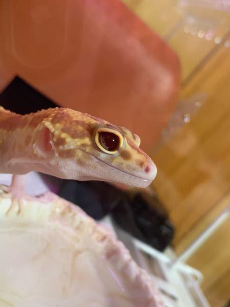 ヒョウモントカゲモドキについての質問です。 先日飼っている個体の目に異常を発見致しました。 何かの病気でしょうか? 下瞼の際にある眼球が一部白色っぽくなっている所です。 右目ほど酷くありませんが...