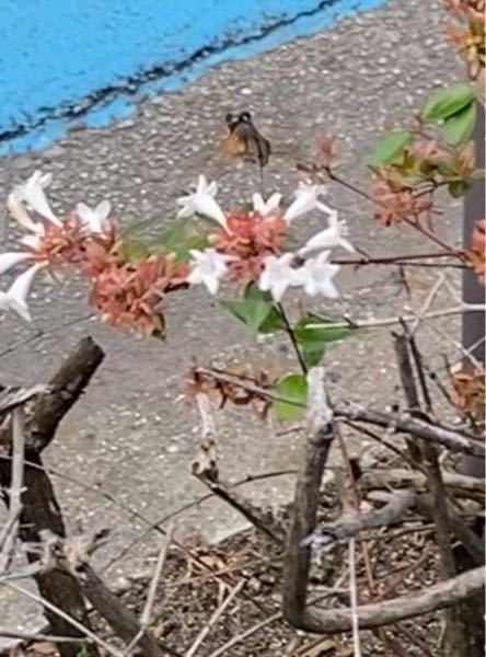 この鳥みたいな虫みたいな生き物何か教えてください。めちゃくちゃ飛ぶの早くて見たことも無い生き物で気になります。鳥ですかね?ハチですか?スズメとかより小さかったです。