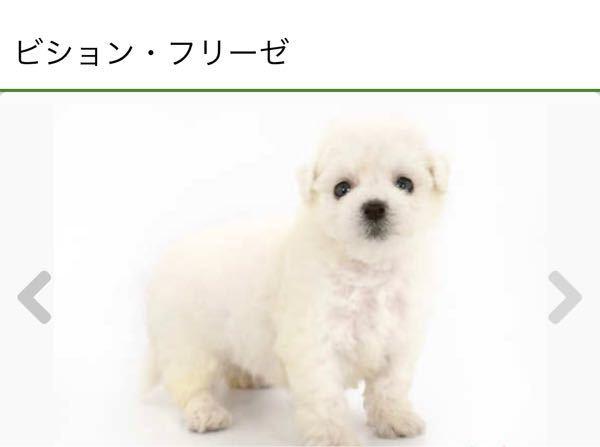 犬に詳しい方、教えて下さい。 この子ゎ短足でしょうか? ビションフレーゼの子犬です。 短足の子を探しているのですが、 ペットショップなので…分からないと言われてしまいました。 生後2ヶ月です。 ...