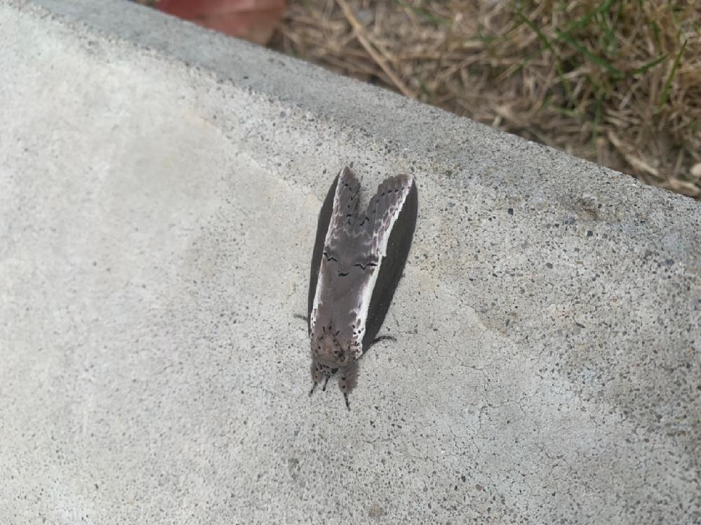 これは何の種類の蛾でしょうか?