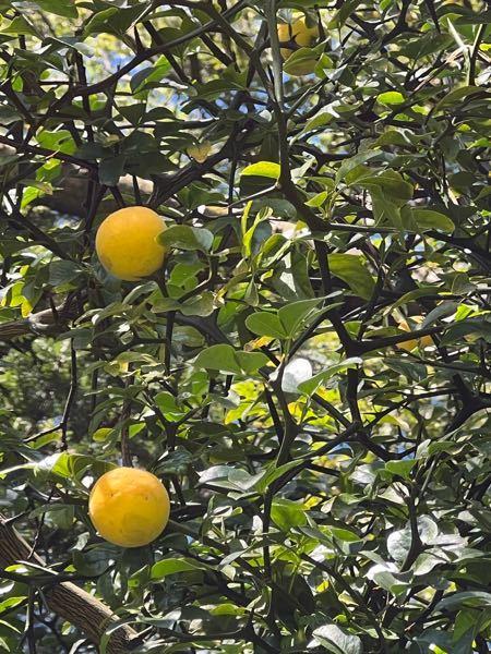 こちらの実は何の実でしょうか? 枝木には棘があり、実の断面はレモンのような柑橘類のようです。