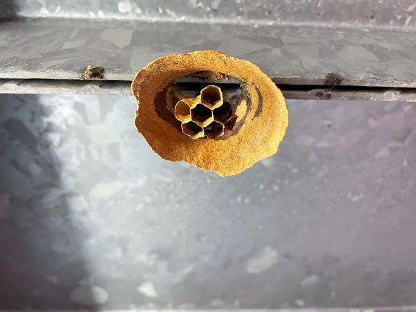 この蜂の巣は何と言う種類のハチが作った物ですか?